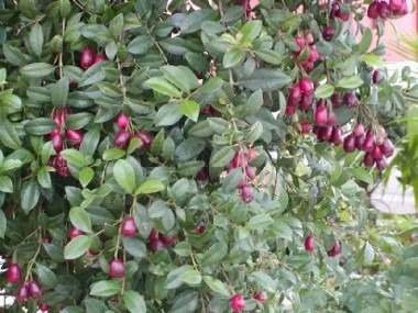 Arbusto planta cerco vivo especie a eleccion 99 00 en for Pianta eugenia