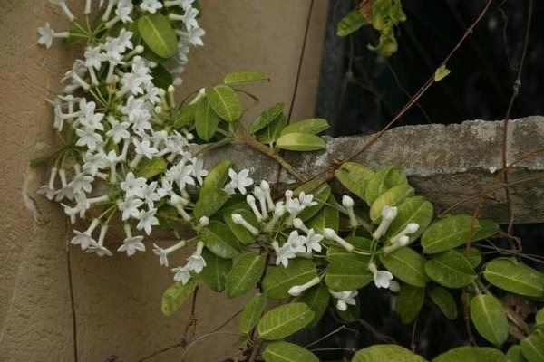 Jazmin madagascar stephanotis floribunda estefanote for Jazmin planta precio
