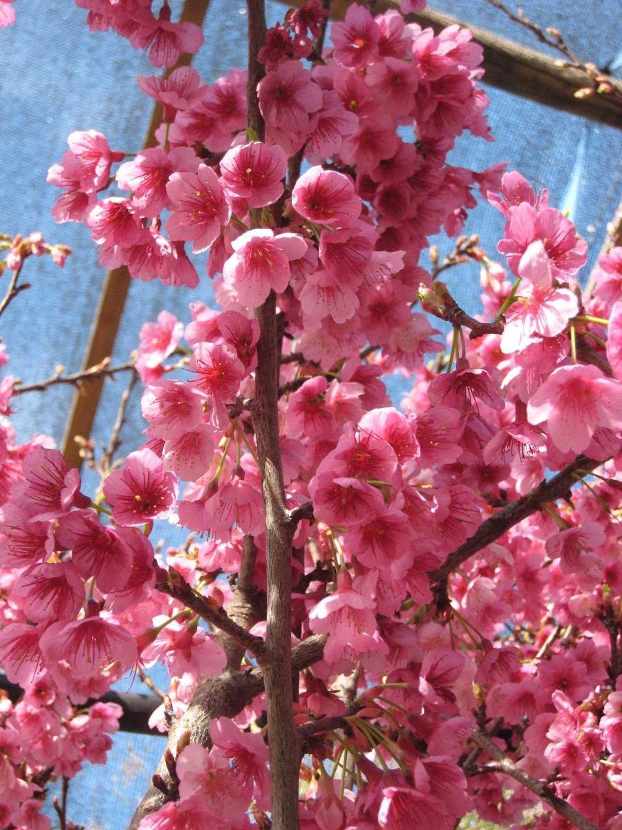Arbol De Cerezo Japones sakura cerezo japones bonsai semillas : noviembre 2016